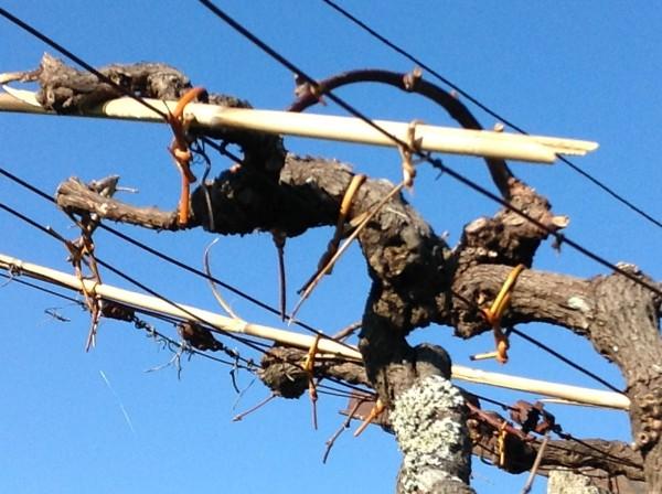 Atando la viña con el mimbre de la propia finca.
